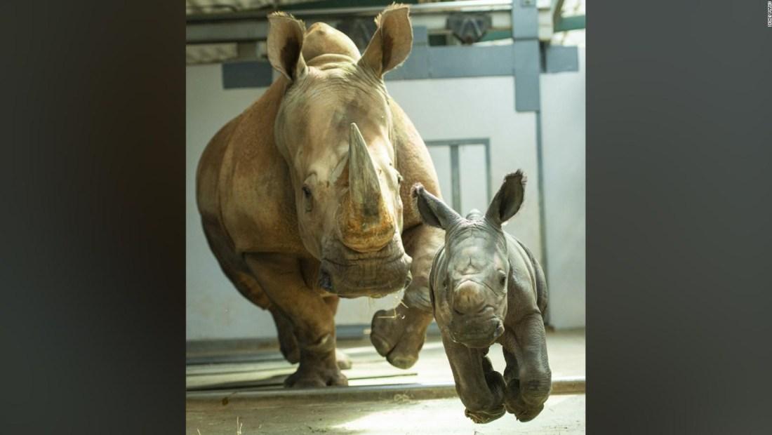 Disney presenta una cría de rinoceronte blanco