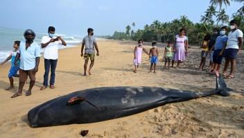 Sri Lanka rescata 100 ballenas varadas en sus playas