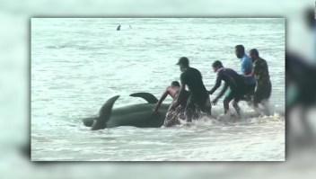 Rescatan 100 ballenas varadas en Sri Lanka