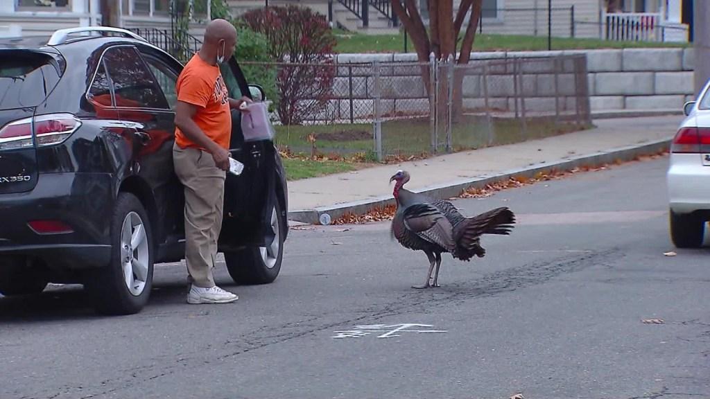 Vea las imágenes de un pavo atemorizando a Boston