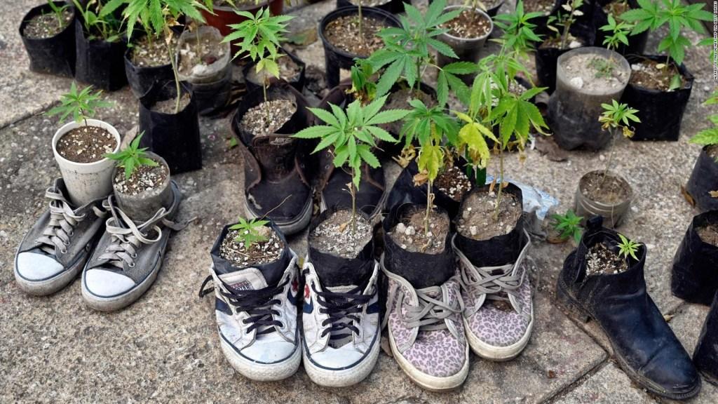 Así crece el jardín de marihuana frente al Congreso
