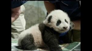 Así se llamará el cachorro de panda del Zoológico Smithsonian