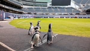 Pingüinos se pasean por un campo de la NFL