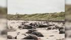 Mueren casi 100 ballenas piloto varadas en Nueva Zelandia