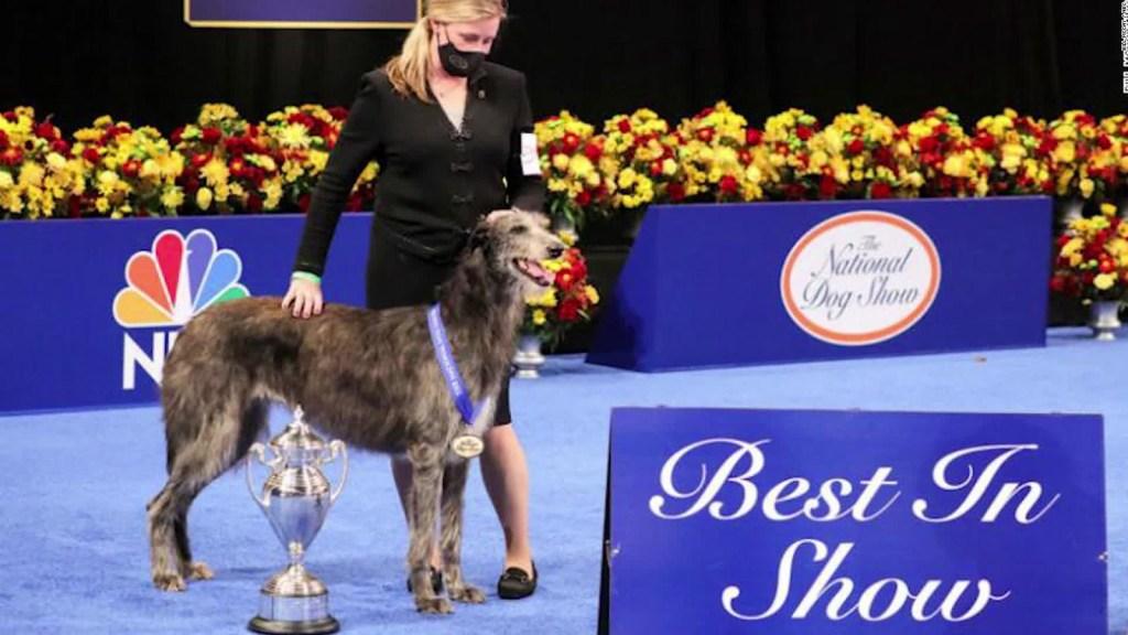 Claire, un lebrel escocés, gana el Dog Show 2020
