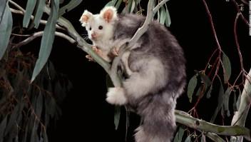 Científicos descubren dos nuevas especies de marsupiales en Australia