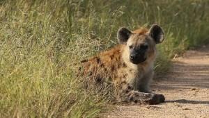 hiena-hienas-ataque-hombre-muerto
