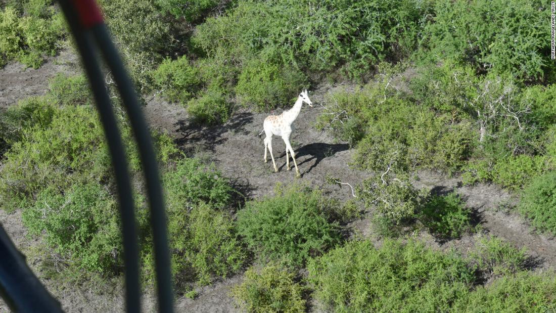 jirafa-blanca-GPS-dos