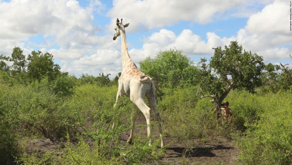 jirafa-blanca-gps