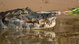 Estudio: caimanes pueden regeneran su cola al perderla