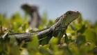 Llegó la temporada de caída de iguanas en la Florida