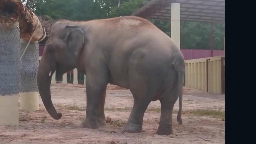 """Elefante """"más solitario del mundo"""" ya se encuentra en santuario"""