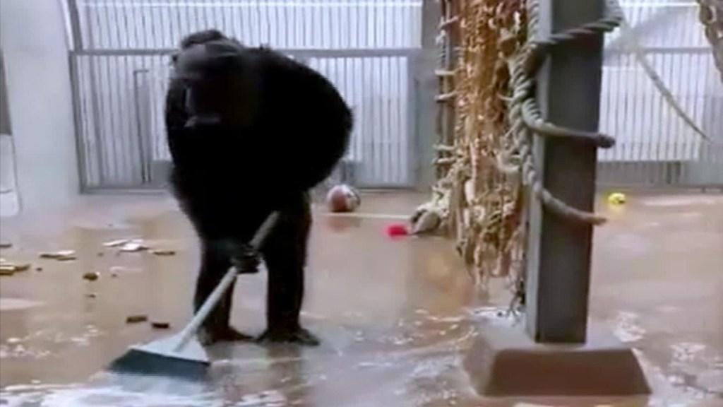 Viral: una chimpancé agarró una escoba y se puso a limpiar su jaula