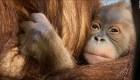 Nace orangután de Sumatra en zoológico de Bélgica