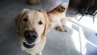 Perros entrenados detectarían covid-19, revela estudio
