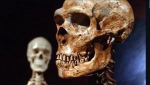 Legado de los neandertales podría impactar en nuestra salud
