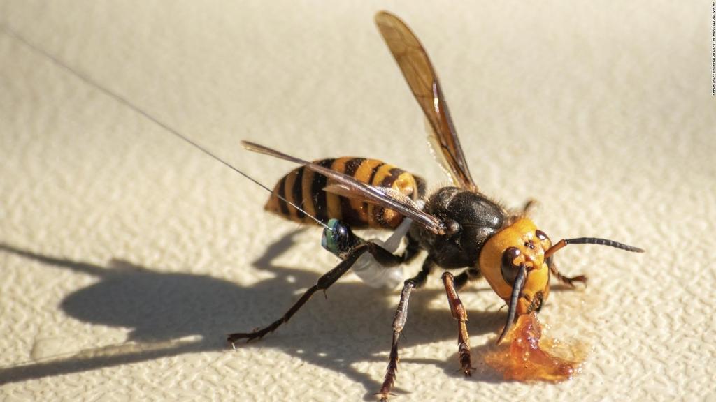 Así se defienden las abejas de los avispones asesinos