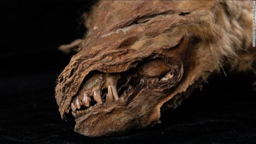 Descubren cachorro de lobo de hace 57.000 años
