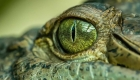 Prehistoric crocodile identified in Australia