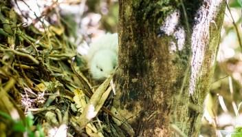 Así era Manukura, el kiwi blanco fallecido