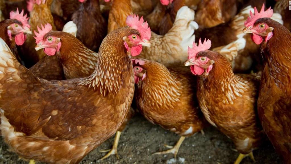 Investigan el robo de 20.000 gallinas en Colombia