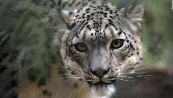 leopardo-de-las-nieves-covid-19