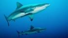Las poblaciones de tiburones y rayas han caído un 70%