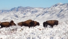 100 años después y al borde de la extinción, bisontes son vistos en México