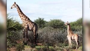 Encuentran jirafas enanas en dos países de África