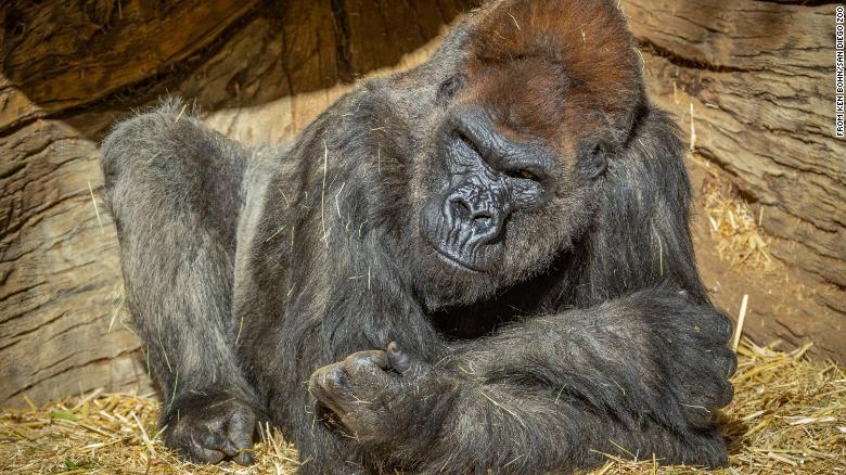 gorille covid-19