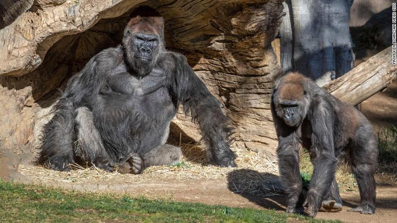 gorila covid-19 san Diego