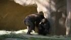 Gorilas del zoológico de San Diego, con covid-19