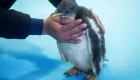 Pingüino antártico nace en México