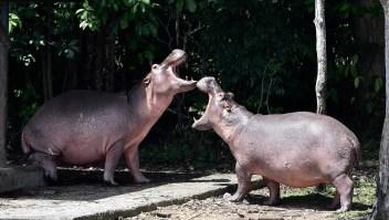 Proponen sacrificar a los hipopótamos de Pablo Escobar