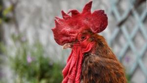 El legado de Maurice, el gallo que fue a juicio en Francia