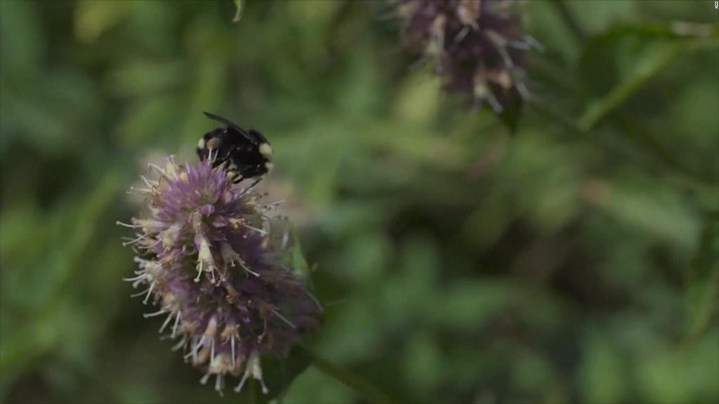 Hay menos abejas silvestres en los registros públicos