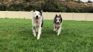 Los perros Halo y Wish rompen récord mundial Guinness