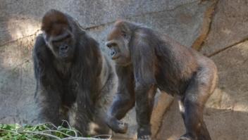 Gorila se recupera de covid-19 en San Diego
