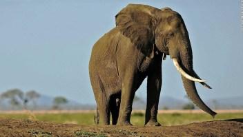 marfil elefante