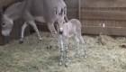 Una esperanza en Chile para los burros salvajes africanos