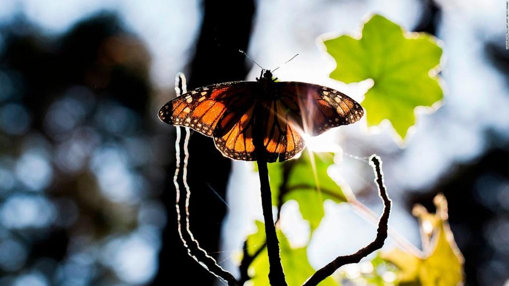 México registra reducción de mariposas monarca