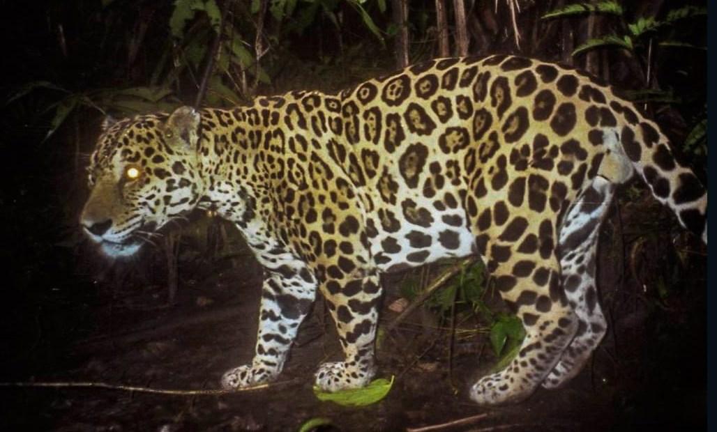Guatemala: jaguares viven como si no hubiera humanos