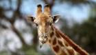 Jirafa bebé del Zoológico de Chapultepec busca nombre