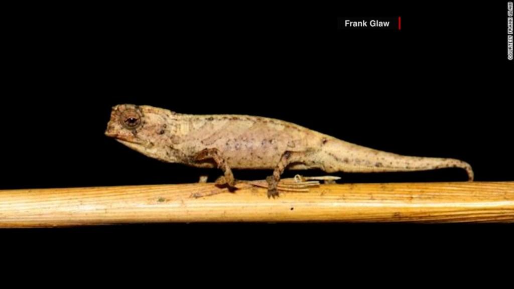 Nanocamaleón, ¿el reptil más pequeño del mundo?