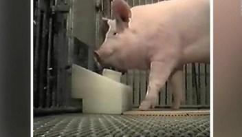 Científicos miden la capacidad mental de los cerdos