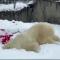 Deja todo y mira a este oso polar jugar en la nieve