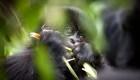 Las selfis de turistas propagarían el covid-19 en gorilas