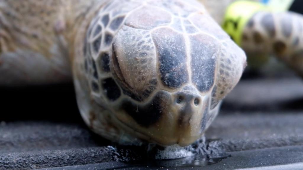 Tortugas marinas paralizadas por bajas temperaturas en Texas