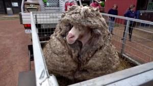 La increíble transformación de la oveja Baarack