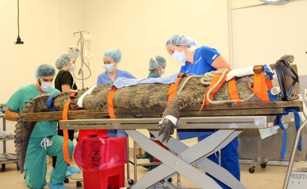 Operan a una cocodrilo para extraerle algo poco saludable